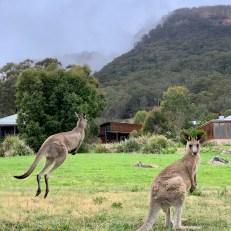 Wolgan Valley kangaroos