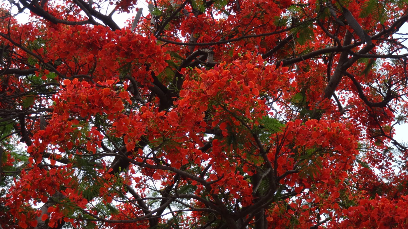kamal park feature - Kamal Park: Underneath the Arching Gulmohar