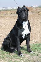 Cane Corso Puppies For Sale In Michigan Cane Corso Breeders And
