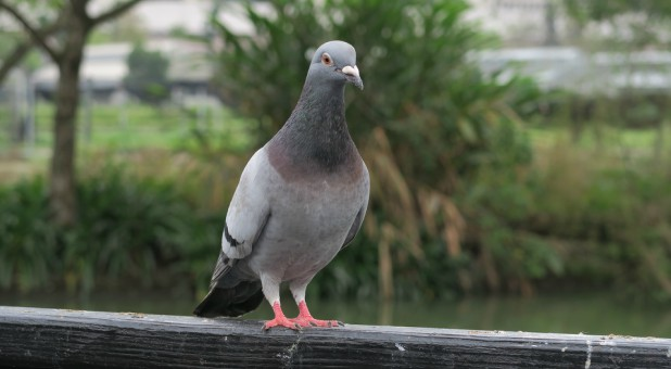 Doves are sensitive birds. At the slightest movement they fly away. They are symbolic of the Holy Spirit. Although similar, pigeons are distinctly different.