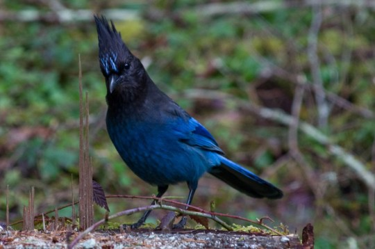 The Steller's' Jay is a common scavanger which lives west of the Rocky Mountains from Alaska to Mexico 5