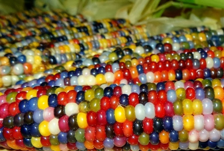 Eye-Catching Multicolored Kernels of Corns 3