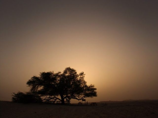 A Miraculous Survival of Tree in the desert of Bahrain 10