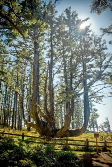 The Octopus Tree of Oregon 1