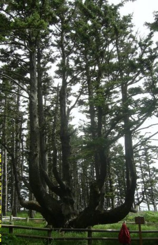 The Octopus Tree of Oregon 4
