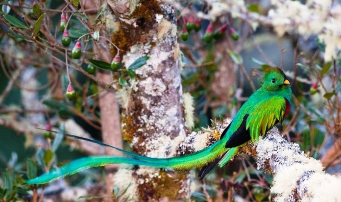 "World's Most Beautiful Bird ""Resplendent Quetzal"""