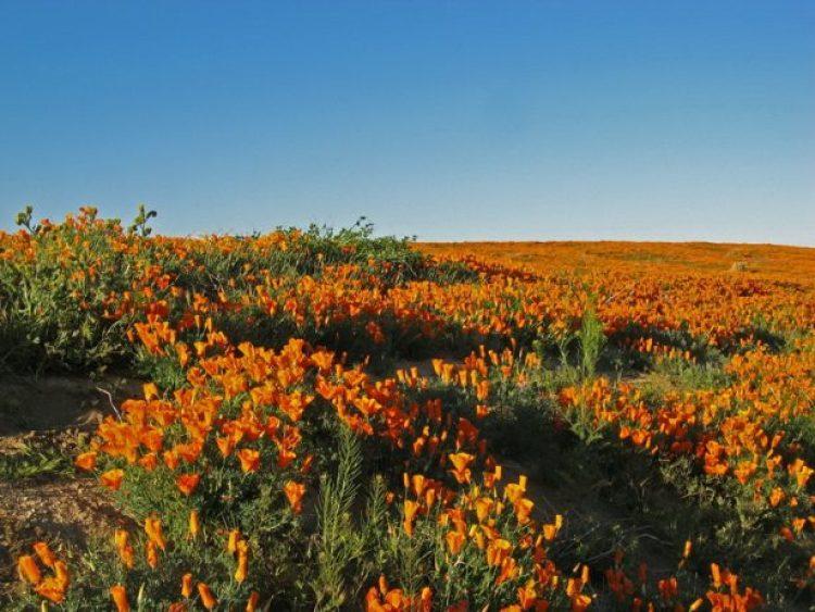 Antelope Valley Poppy Reserve in California19_exposure_resize
