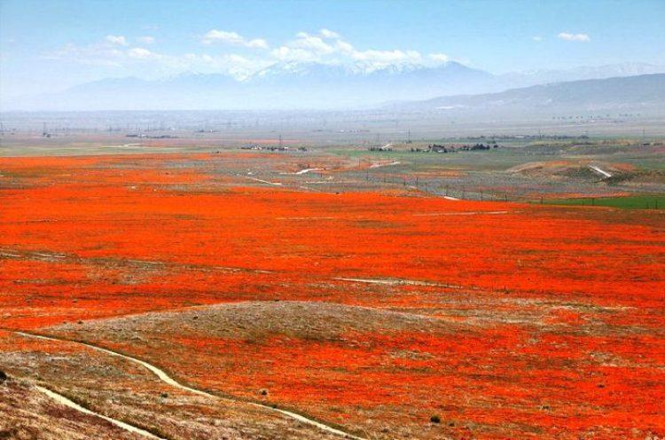 Antelope Valley Poppy Reserve in California30_exposure_resize