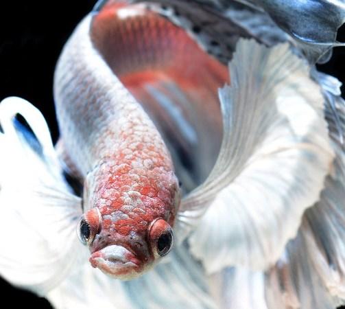 Dazzling Siamese Fighting Fish By Visarute Angkatavanich 7