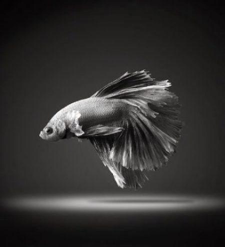 Dazzling Siamese Fighting Fish By Visarute Angkatavanich 8