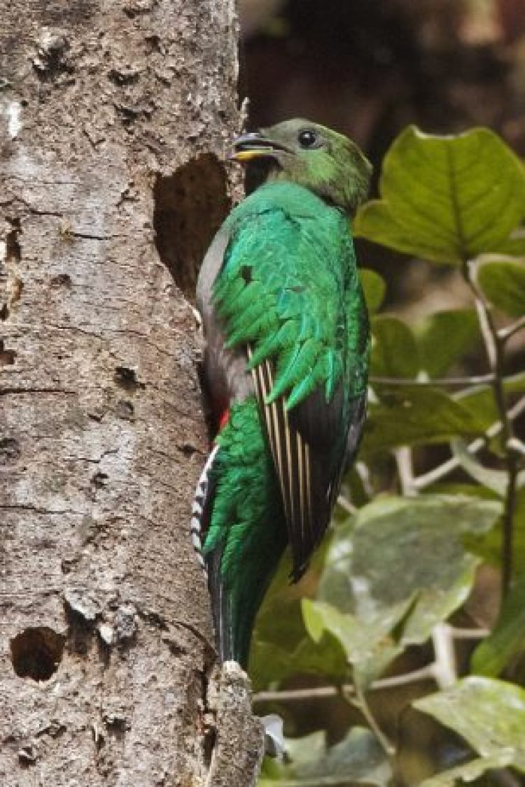 The Resplendent Quetzal belongs to trogon family, and can be found from southern Mexico to western Panama, and it is famous for its colorful plumage.