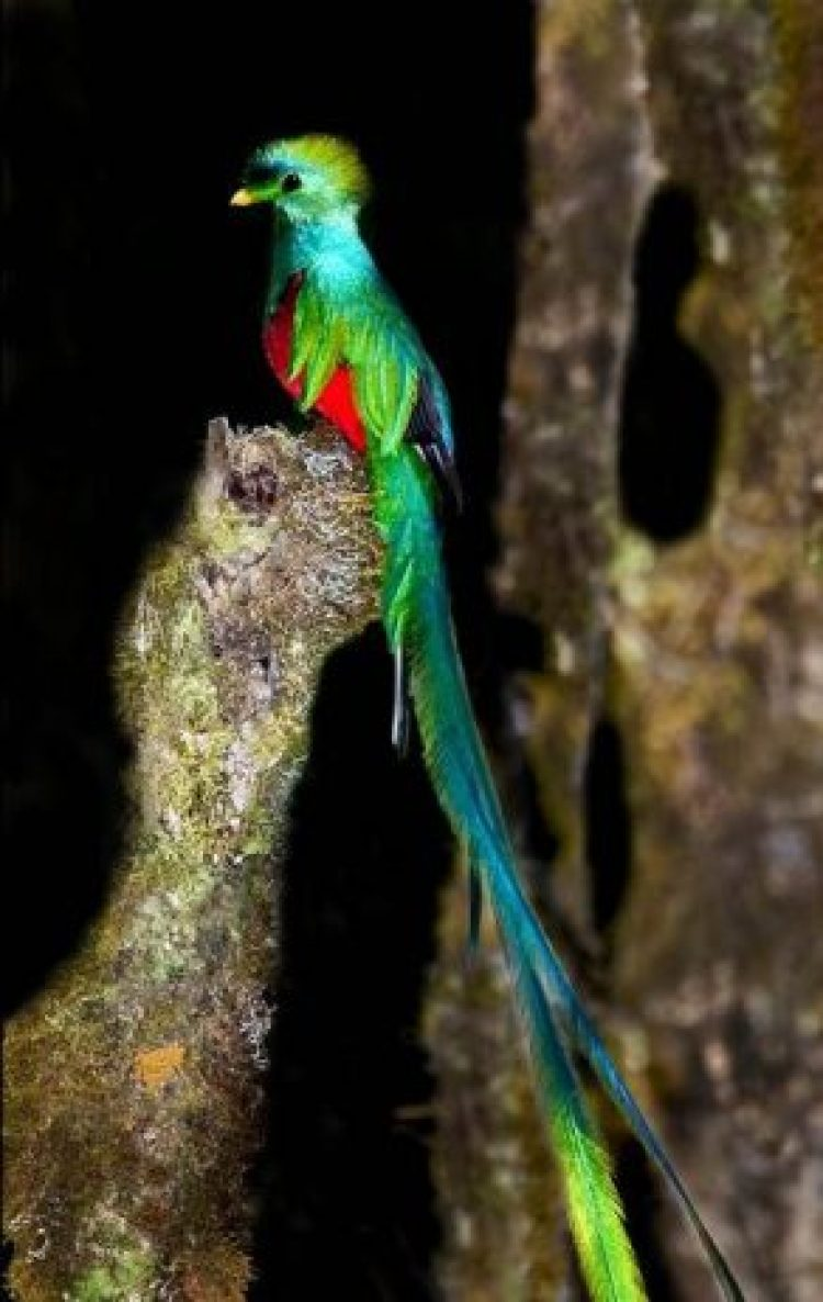 Young quetzals can fly approximately three weeks of age, but males do not begin to grow their long tail plumes for three years.