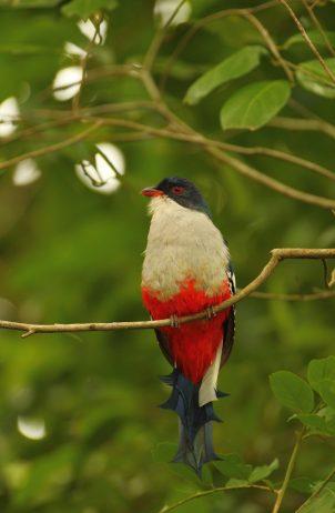 """Cuban Trogon"" World's Most Fascinating Colorful Bird ... - photo#22"