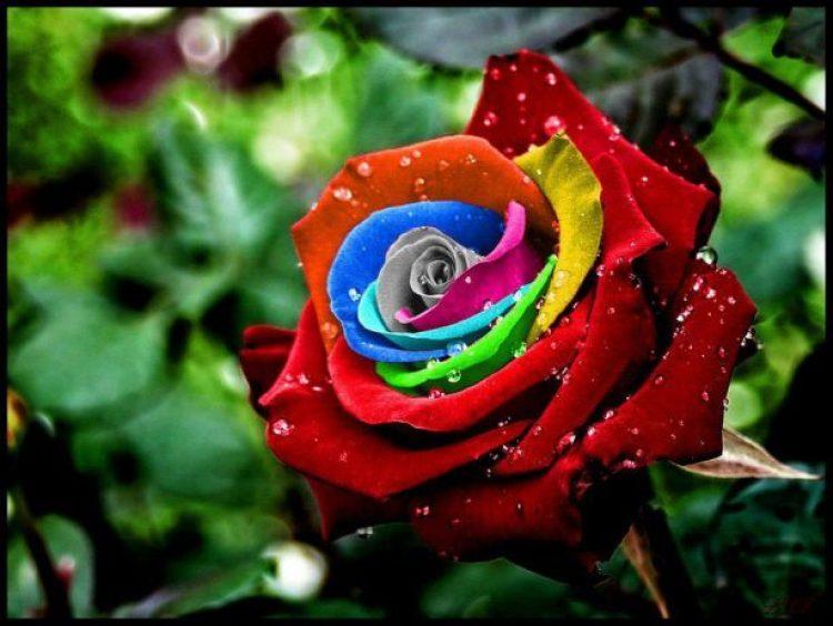 The-Rainbow-Roses