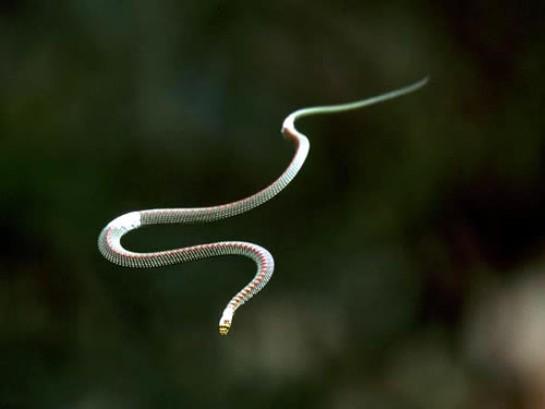flying-snake2