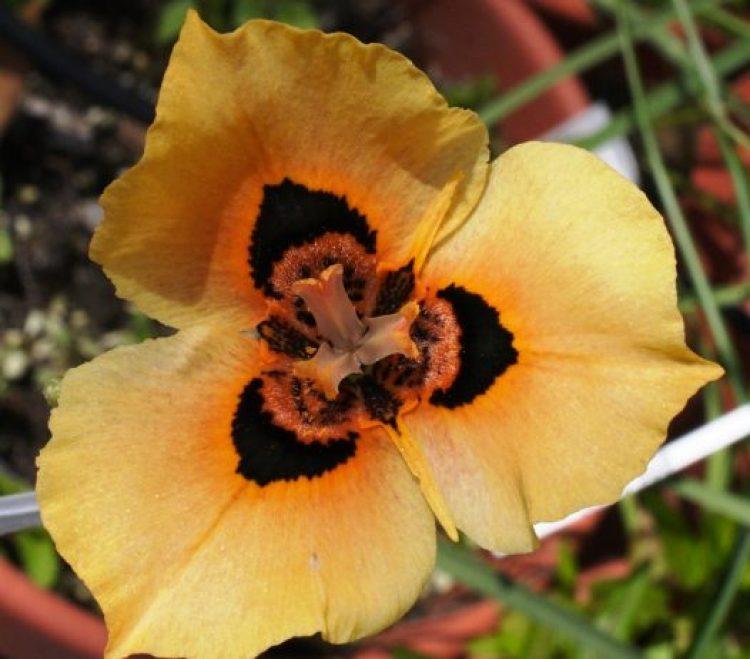 Moraea villosa b10