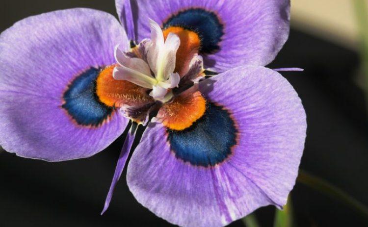 Moraea villosa b14