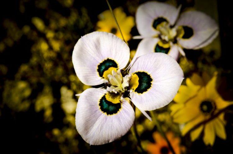 Moraea villosa b3