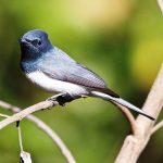 The Beautiful Leaden Flycatcher