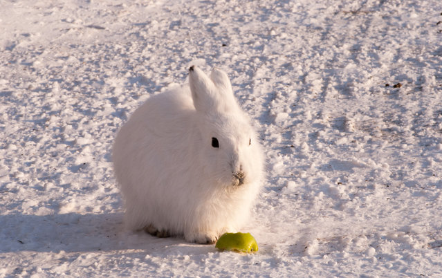 The arctic hare17