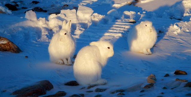 The arctic hare3