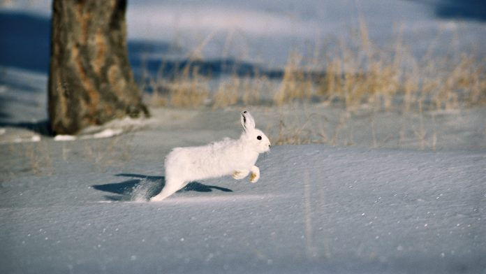 The Arctic Hare Is Adapted Largely To Polar And