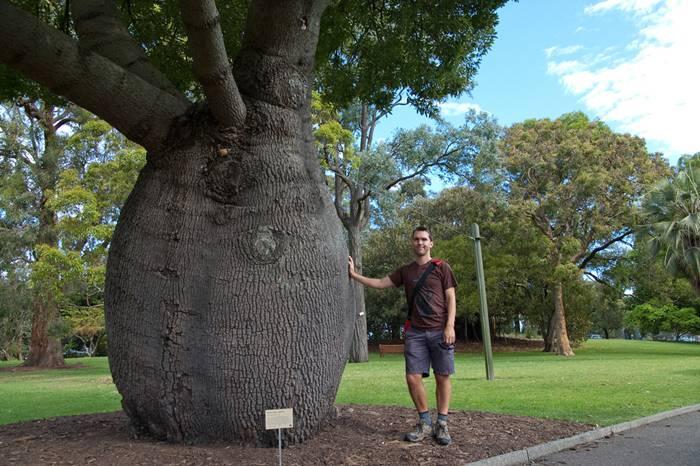 Bottle Tree of Queensland Brachychiton Rupestris9