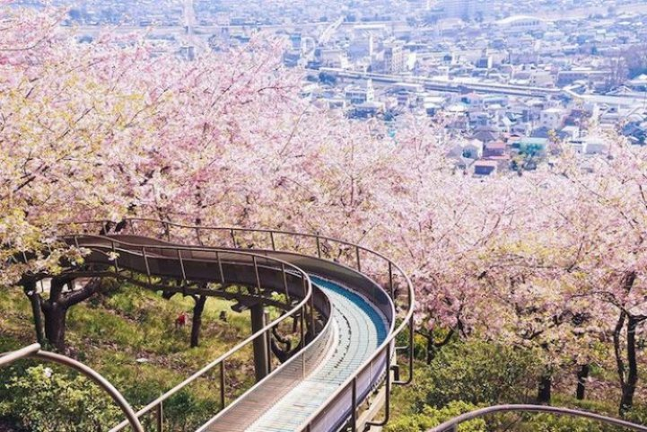 Cherry Blossoms is a cultural symbol of Japan12