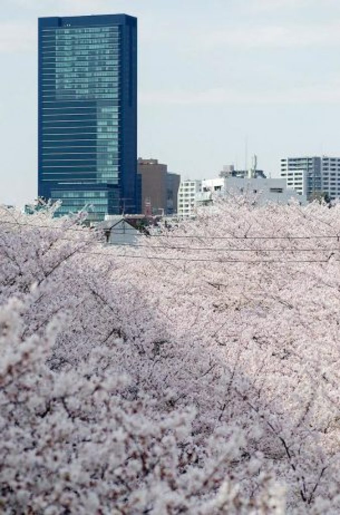 Cherry Blossoms is a cultural symbol of Japan4