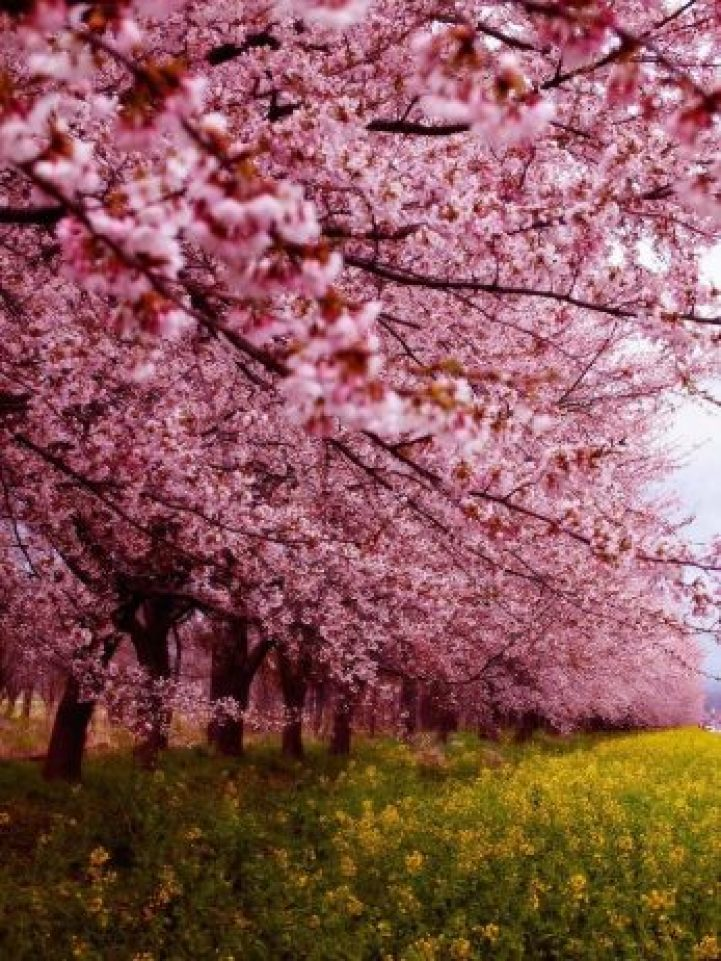 Cherry Blossoms is a cultural symbol of Japan6
