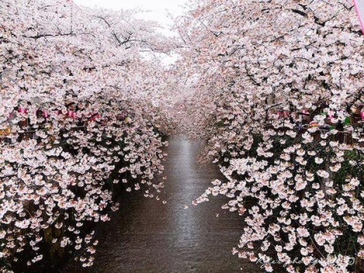 Cherry Blossoms is a cultural symbol of Japan8