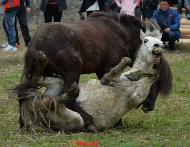 Horse Fighting in China1