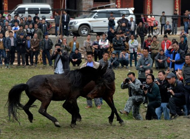Horse Fighting in China3