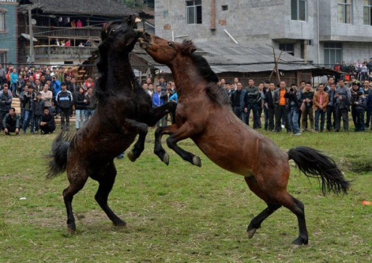 Horse Fighting in China5