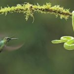 A hummingbird confronting a pit viper has gained him an enormous amount of attention.