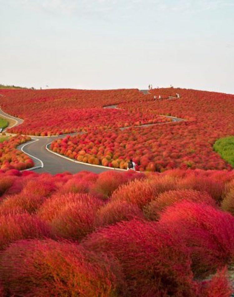 Hitachi Seaside Park Path In Japan
