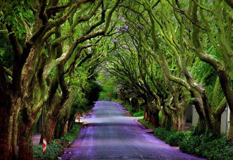Jacaranda Tree Alley