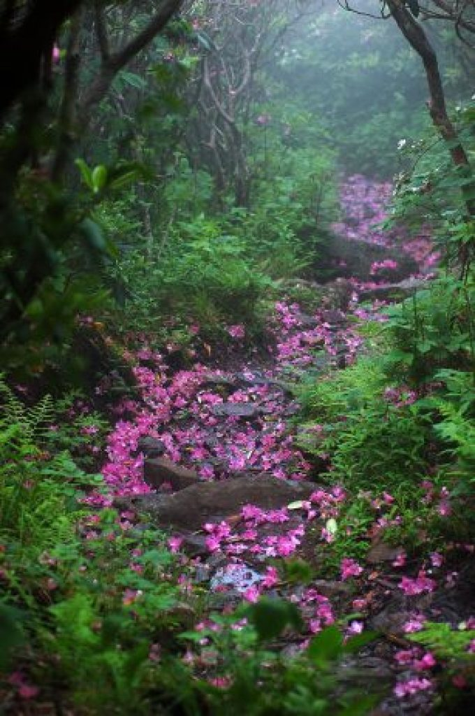 Rhododendron Laden Path, Mount Rogers, Virginia, USA