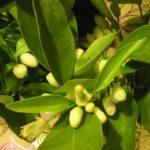 Herbs and Perfumery