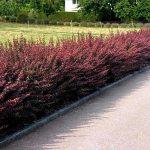 Barberry (Berberis) is Popular Garden Specimens