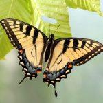 The Evolution of Butterflies