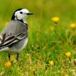 Black and White Wagtails