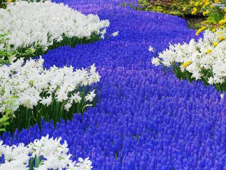 Grape hyacinths like full sun or part shade and an average, well-drained soil