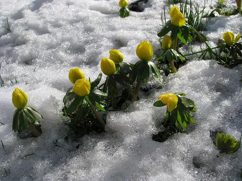 eranthis-hyemalis-in-snow