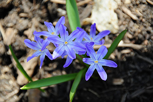 They start blooming shortly after crocuses, which is handy, because the two look good together.