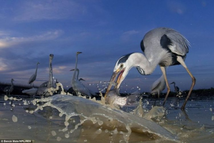A grey heron wades in to pluck out a fish with its long beak in Pusztaszer, Hungary