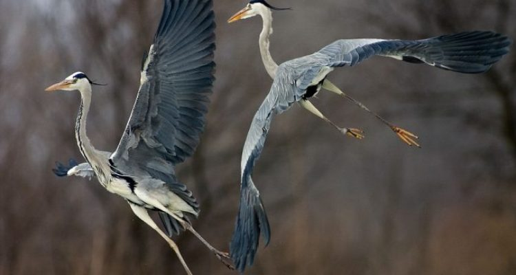 Two grey herons spreads their wings above Lake Csaj in Kiskunsagi National Park, Hungary