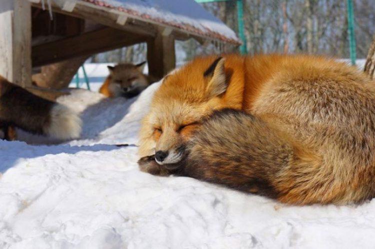 zao-fox-village-japan-18
