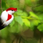 "Brazil's critically endangered ""Araripe Manakin"" may be the world's most beautiful Bird"