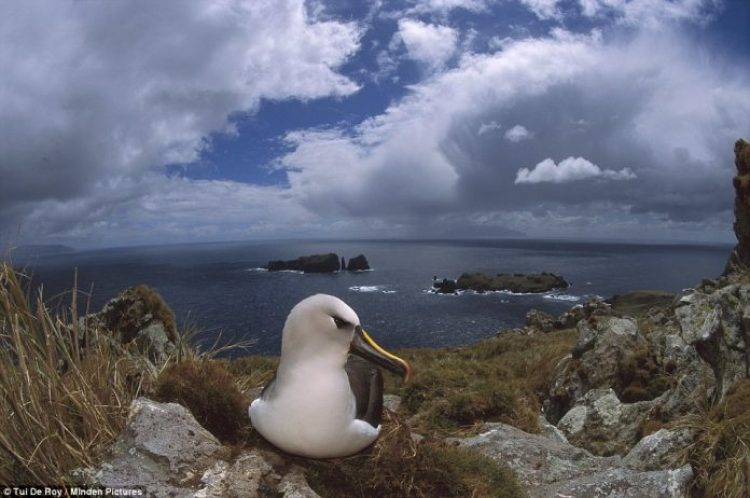 A yellow-nosed albatross is one of several large seabird species that uses Tristan's Inaccessible Island as a breeding ground